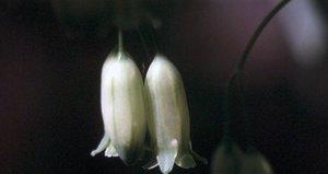Polygonatum biflorum - Ed Zschiedrich