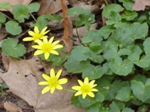 Ranunculus ficaria - Marcia E. Moore