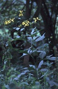 Rudbeckia laciniata - Ed Zschiedrich