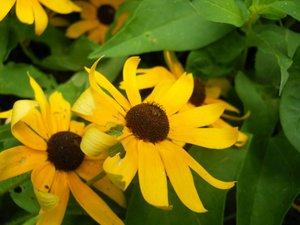 Rudbeckia laciniata - Julie Elmore