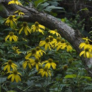 Rudbeckia laciniata - Michael Huft