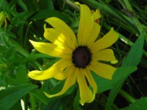 Rudbeckia laciniata - Marcia E. Moore