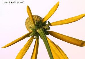 Rudbeckia laciniata var. laciniata - Robert E. Barber