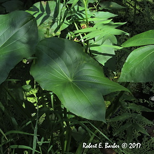 Sagittaria latifolia - Robert E. Barber