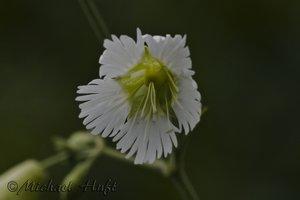Silene stellata - Michael Huft