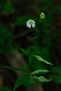 Silene stellata - Vern Wilkins