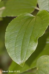 Smilax glauca - Robert E. Barber