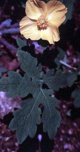 Stylophorum diphyllum - Ed Zschiedrich