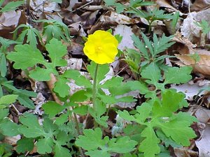 Stylophorum diphyllum - Marcia E. Moore