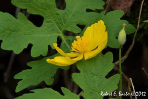 Stylophorum diphyllum - Robert E. Barber
