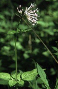 Valeriana pauciflora - Ed Zschiedrich