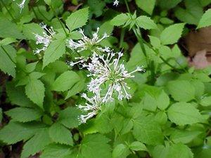 Valeriana pauciflora - Marcia E. Moore