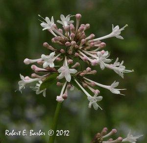Valeriana pauciflora - Robert E. Barber