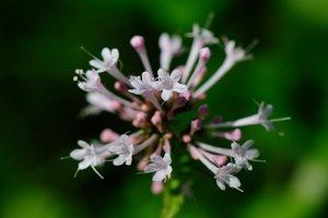 Valeriana pauciflora - Vern Wilkins