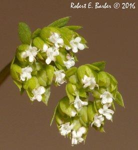 Valerianella radiata - Robert E. Barber