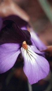 Viola pedata - Ed Zschiedrich