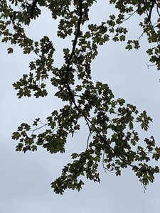 Acer floridanum - Dwayne Estes