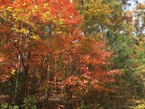 Acer floridanum - Joey Shaw