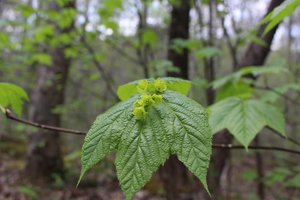 Acer pensylvanicum - Ashley B. Morris