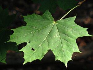 Acer platanoides - Milo Pyne