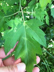 Acer saccharinum - Dwayne Estes