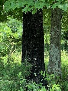 Acer saccharum - Dwayne Estes