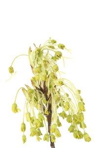 Acer saccharum - Janet James