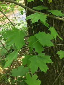 Acer saccharum - Joey Shaw