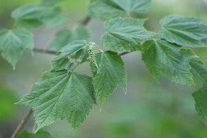 Acer spicatum - Ashley B. Morris