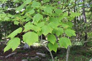 Acer spicatum - Joey Shaw