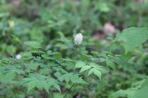 Actaea pachypoda - Ashley B. Morris