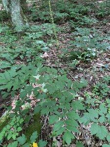 Actaea racemosa - Dwayne Estes