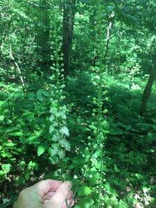 Actaea racemosa - Tara Littlefield