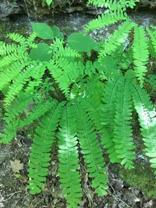 Adiantum pedatum - Ashley B. Morris