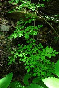 Adlumia fungosa - Milo Pyne