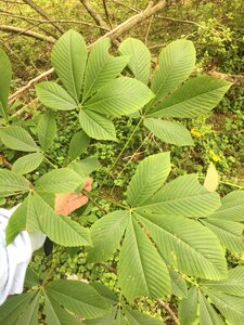 Aesculus flava - Joey Shaw