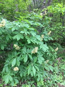 Aesculus glabra var. glabra - Theo Witsell