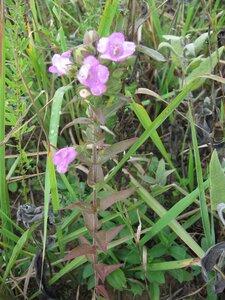 Agalinis auriculata - Tara Littlefield
