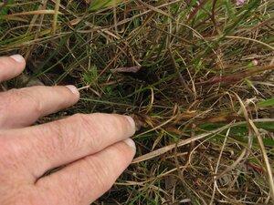 Agalinis decemloba - Todd Crabtree
