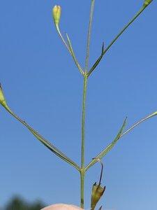 Agalinis obtusifolia - Dwayne Estes