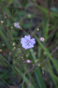Agalinis obtusifolia - Milo Pyne