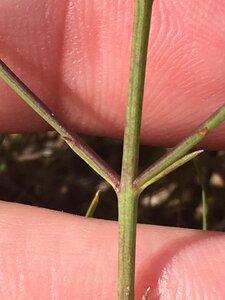 Agalinis oligophylla - Dwayne Estes