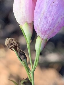 Agalinis plukenetii - Dwayne Estes