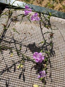Agalinis tenuifolia - Alaina Krakowiak