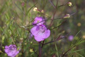 Agalinis tenuifolia - Ashley B. Morris