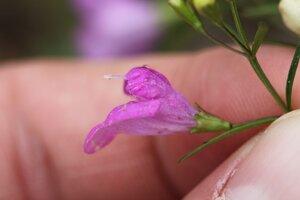 Agalinis tenuifolia - Dwayne Estes