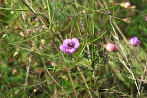 Agalinis tenuifolia - Milo Pyne