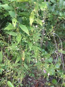 Agalinis tenuifolia - Theo Witsell