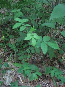 Agrimonia gryposepala - Tara Littlefield