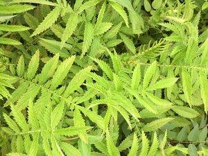 Agrimonia parviflora - Dwayne Estes